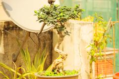 Ficus S-Shape Bonsai