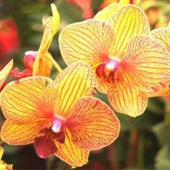 20PCS Butterfly Orchid Seeds Phalaenopsis Bonsai Flower Seed - Type 7