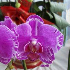 20PCS Butterfly Orchid Seeds Phalaenopsis Bonsai Flower Seed - Type 8